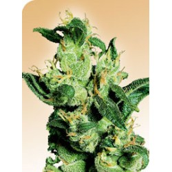 Jack Herer ( 10 semillas regulares )