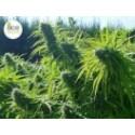 TIKAL 5 semillas feminizadas
