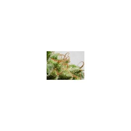 GUAWI 1 semilla feminizada