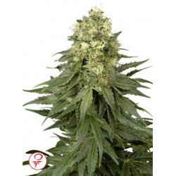 White Widow 1 semilla feminizada