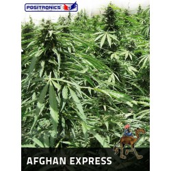 AFGHAN EXPRESS 1 semilla auto