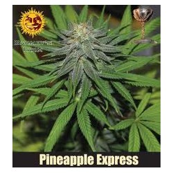 Pineapple Expres 1 semilla...