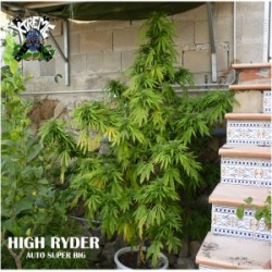High Ryder Auto Super Big 1 semilla autofloreciente