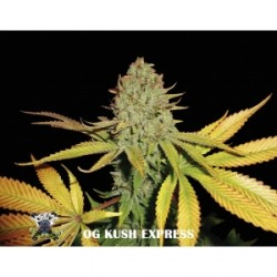 OG Kush Express 5 semillas Feminizadas