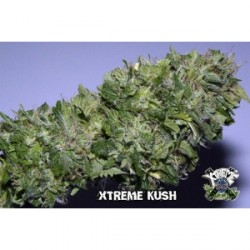 Xtreme Kush 1 semilla feminizada