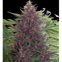 Buddha Purple Kush 1 semilla auto feminizada