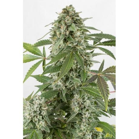 WHITE WIDOW Autoflowering 1 semilla