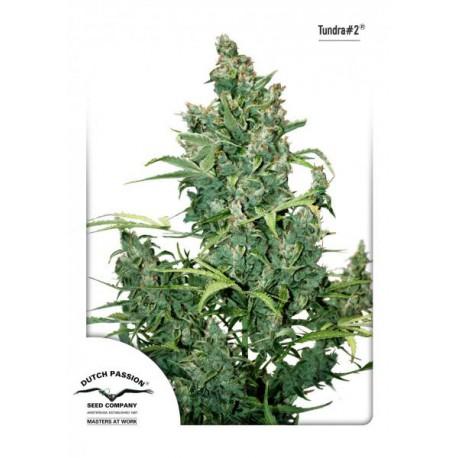 TUNDRA 1 semilla autofloreciente feminizada
