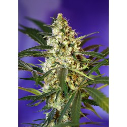 Fast Bud N2, 1 semilla autofloracion feminizada
