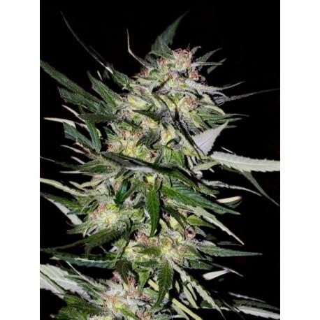 Jack Plant 1 semilla feminizada
