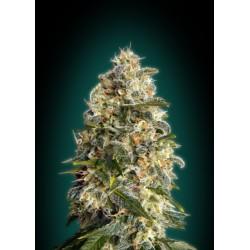 Heavy Bud 1 semilla feminizada