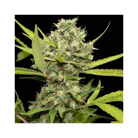 Pineaple Chunk 1 semilla feminizada