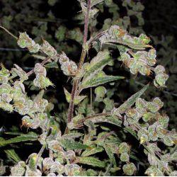 Dr. Grinspoon 5 semillas feminizadas