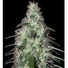 Pulsar 1 semilla feminizada