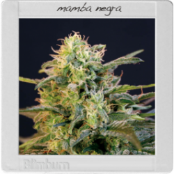 Mamba Negra 1 semilla feminizada