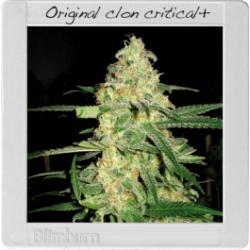 Original Clon 1 semilla feminizada