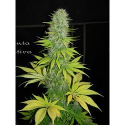 Santa Sativa 1 semilla feminizada