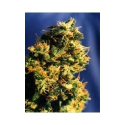 Green Spirit  100% -  1 semilla