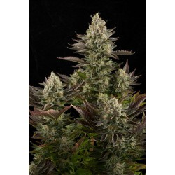 White Widow 10 semillas feminizadas