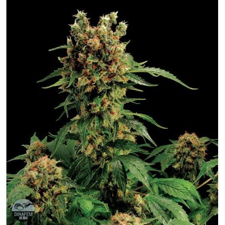California Hash Plant 1 semilla feminizada