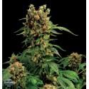California Hash Plant 100% feminizada 1semilla