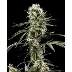 Super Lemon Haze 10 Semillas Feminizadas
