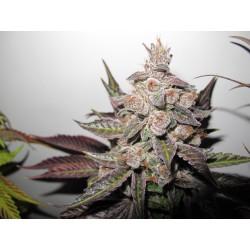 Mendocino Purple Kush - 1 Semilla Feminizada