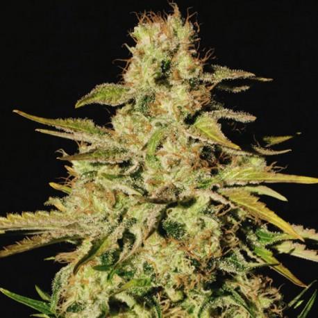 Jacky White - 1 Semilla Feminizada