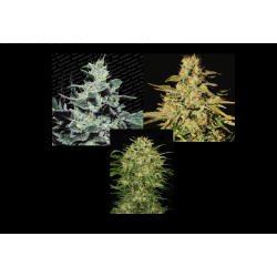 Sativa Champions - 6 Semillas ( Collection Pack )