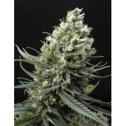 Ripper Haze - 1 Semilla Feminizada