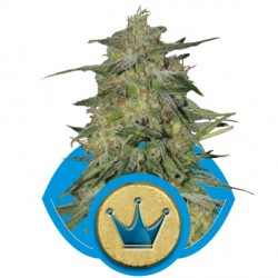 Royal Highness 1 semilla feminizada
