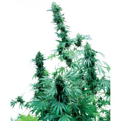 Early Skunk 1 semilla feminizada