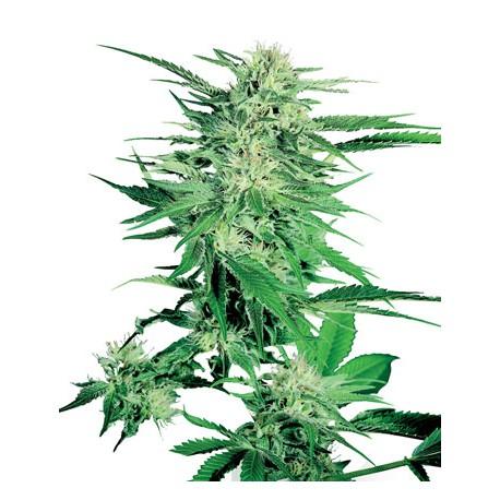 Big Bud 1 semilla feminizada