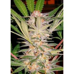 S.A.D. Sweet Afgani Delicious S1 ( 1 semilla feminizada )