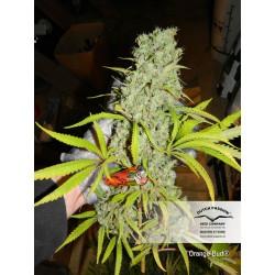 Orange Bud 100% 1 semilla