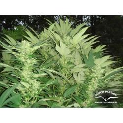 Durban Poison 100% Fem. 1 semilla