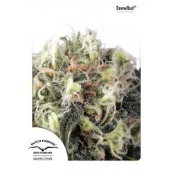 Snow Bud 1 semilla feminizada
