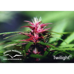 Twilight 1 semilla feminizada