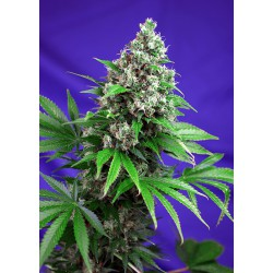 Killer Kush F1 Fast Version 1 semilla