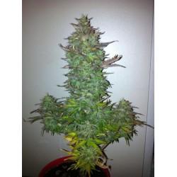 Fruit Autoflowering 1 semilla