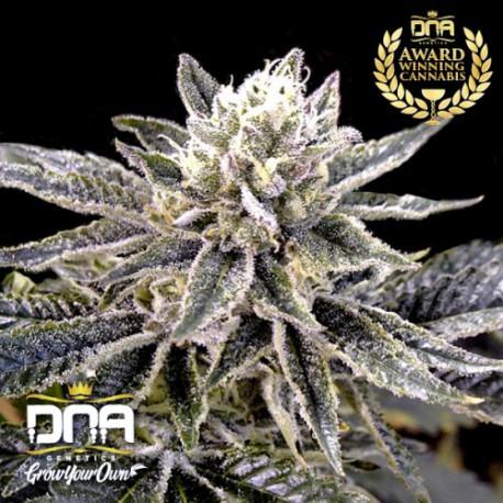 El Fuego Auto 1 semilla, D.N.A Genetics