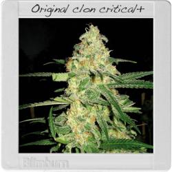 Original Clon 3 semillas feminizadas