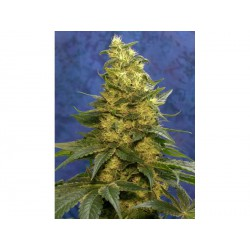 Shadu 10 semillas regulares Mandala Seeds