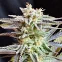 SUGAR BLACK ROSE 1 semilla feminizada