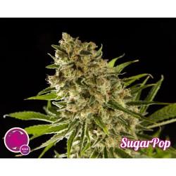 Sugar Pop 1 semilla feminizada