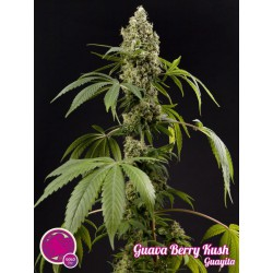 Guava Berry Kush / Guayita 1 semilla feminizada