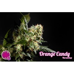 Orange Candy / Naranchup 1 semilla feminizada