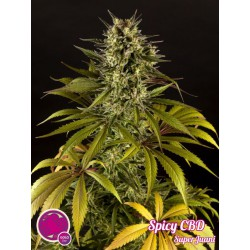 Spicy CBD / SuperJuani 1 semilla feminizada