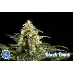 Black Bomb 1 semilla feminizada