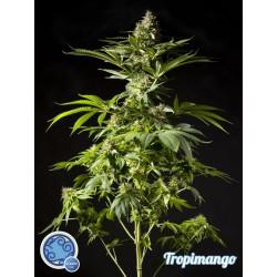 Tropimango 1 semilla feminizada